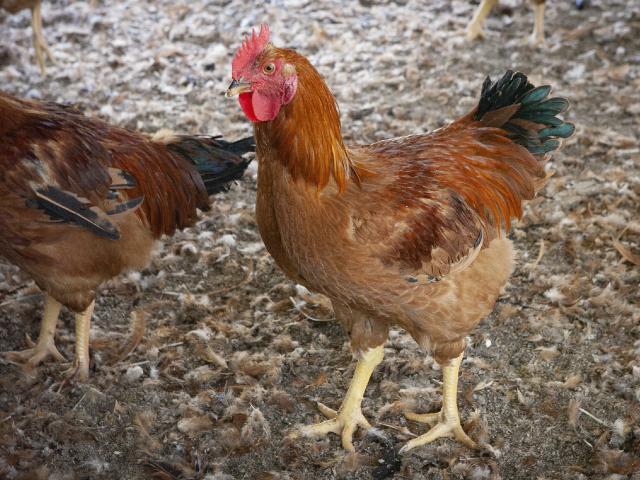 安曇野 寿地鶏